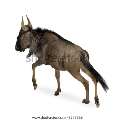Blue Wildebeest - Connochaetes taurinus in front of a white background