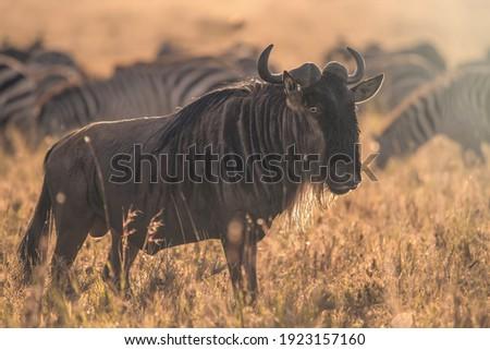 Blue wildebeest (Connochaetes taurinus) in Serengeti National Park, Tanzania Stock photo ©