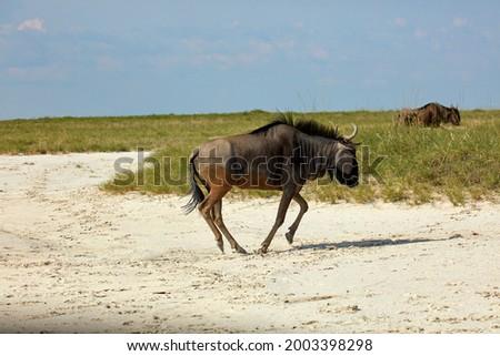 Blue wildebeest (Connochaetes taurinus), Nata Bird Sanctuary, Botswana, Africa Stock photo ©