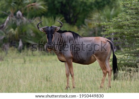 Blue Wildebeest (Connochaetes taurinus ). Nyerere National Park. Tanzania. Africa. Stock photo ©