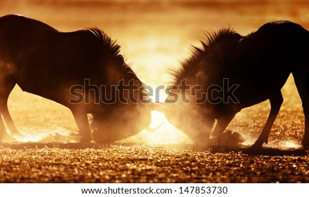 Blue wildebeest dual in dust - Kalahari desert - South Africa