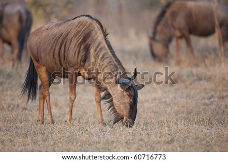Blue Wildebeest grazing on an open plain