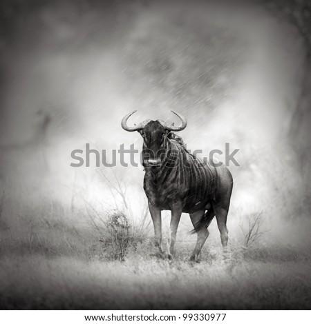 Blue Wildebeest in Rainstorm (Artistic processing)