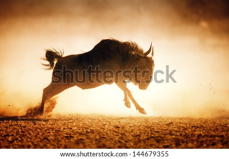 Blue wildebeest running in dust - Kalahari desert - South Africa