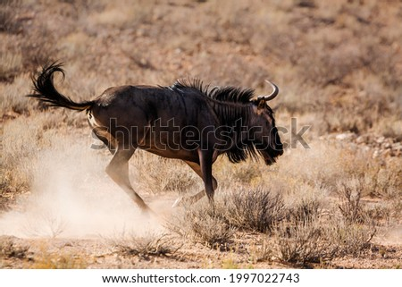 Blue wildebeest running in the dust in Kgalagadi transfrontier park, South Africa ; Specie Connochaetes taurinus family of Bovidae Stock photo ©