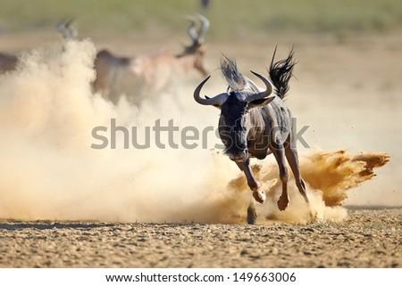Blue wildebeest running on dusty plains (  Taurinus; connochaetes ) - Kalahari desert - South Africa