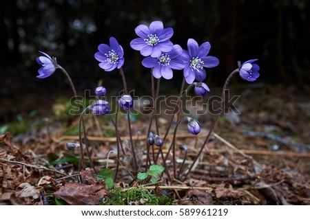 Blue wildflower Hepatica nobilis growing in the middle of the forest in the spring.