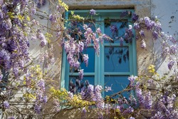 Blue window with Wisteria floribunda/Chinese wisteria