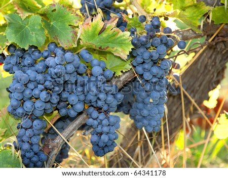 Blue wine grapes just before the harvest