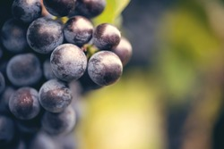 blue wine grapes with leaves close up shoot