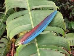 Blue wing feather from the red-and-green macaw (Ara chloropterus), also known as the green-winged macaw, is a large, mostly-red macaw of the genus Ara. Amazon rainforest, Brazil