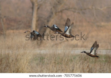 Blue Wing Teal #705775606