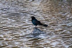 blue winged grackle black bird