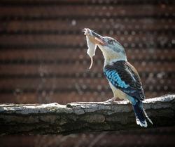 blue-winged kookaburra with mouse in its beak
