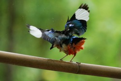 Blue-winged Pitta moluccensis a seven-colored bird that wanders on the ground of the rainforest