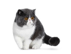 Blue with white young Exotic Shorthair cat, standing / walking facing front. Looking to the side with amazing round orange eyes. Isolated on white background. One paw in air.