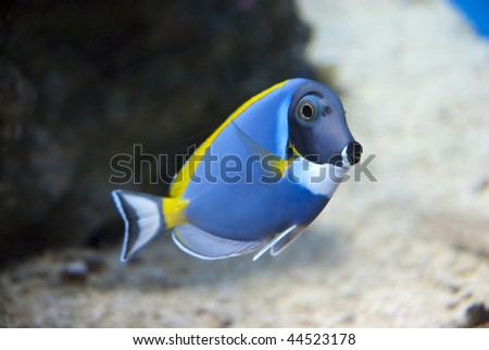 Blue, yellow and white fish in a large tank
