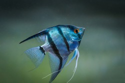 Blue Zebra Angelfish in tank fish (Pterophyllum scalare)