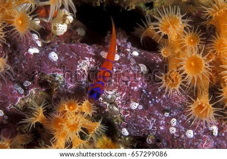 Bluebanded goby, Lythrypnus dalli, on a reef. Channel Islands California.