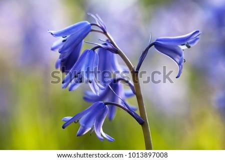 Bluebell amongst bluebells