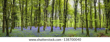 Bluebell Forest 5