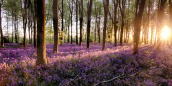 Bluebell forest alive at sunrise with sunlight and tree shadows covering the beautiful purple woodland flowers. extensive English bluebells in full bloom undercover of the tree canopy.