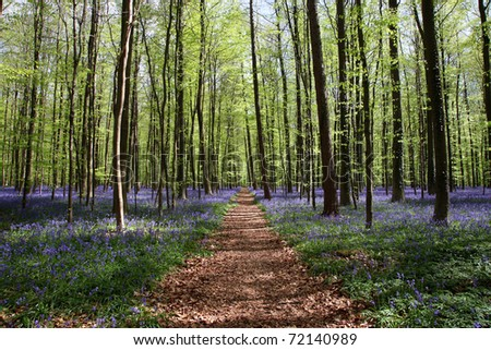 Bluebell in the forest of Halle - in Belgium - very famous for its blue flowers in May