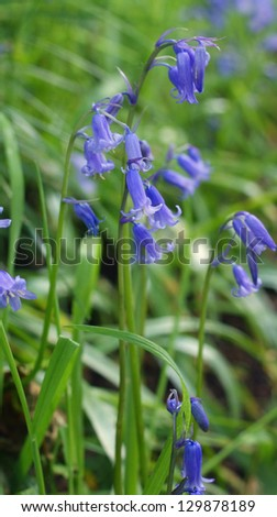 Bluebell wild flowers with grass background