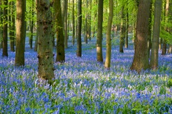 bluebell wood ,England