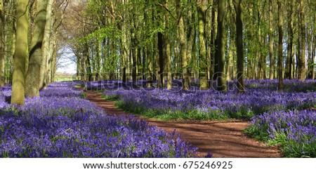 Bluebell Wood Hertfordshire UK