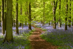 Bluebell woods at Ashridge Estate in the Chilterns, England, UK