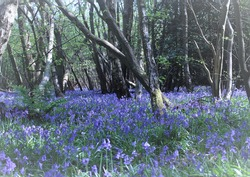 Bluebell woods, full of colour and vibrancy.