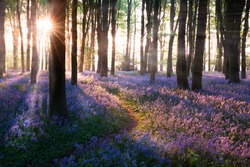 Bluebell woods path sunrise in Norfolk England. Bluebells (Hyacinthoides) are a late spring wild flower well known for its on mass colour of blues and purples, usually found more in woodlands.