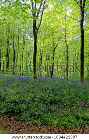 Bluebells and hide out in West Woods, Nr Marlborough, Wiltshire, England, United Kingdom Stock photo ©