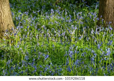 bluebells carpet the forest...