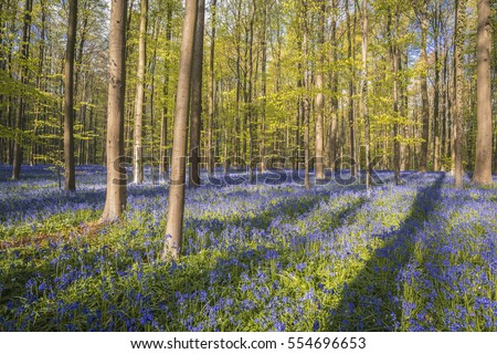Bluebells carpet under Halle Forest, Bruxelles, Belgium #554696653