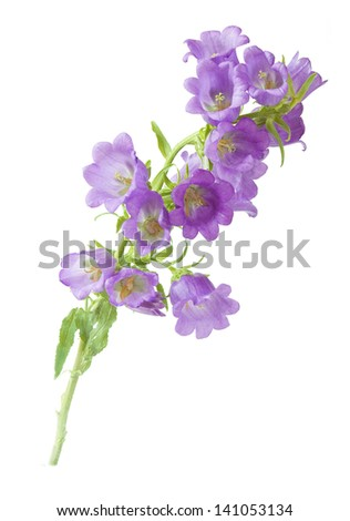 Bluebells flowers branch isolated on white background ez canvas bluebells flowers branch isolated on white background mightylinksfo