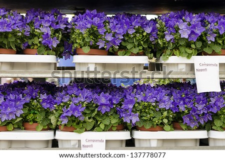 Bluebells flowers (Campanula Napoli) displayed for a sale at market or garden centre.