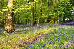 Bluebells in a Woodland under a canopy of Beech and Oak trees, Near Mellor / Mellor Brook & Samlesbury, Lancashire