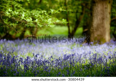 Bluebells in Dappled Wood
