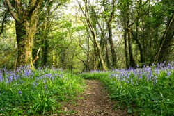 Bluebells in full bloom along a woodland path in Ireland. Hyacinthoides