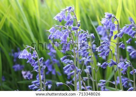 Bluebells or Hyacinthoides non-scripta