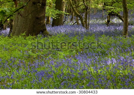 Bluebells with Oak Tree