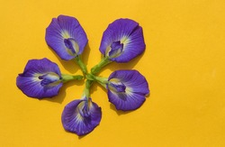 Bluebellvine or Asian Pigeonwings Flowers Isolated on Yellow Background, Also Known as Butterfly Pea or Cordofan Pea
