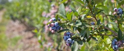 Blueberries - delicious, healthy berry fruit. Vaccinium corymbosum, blush with an abundance of berry crop. Blue ripe fruit on the healthy green plant. Food plantation - blueberry field, orchard.