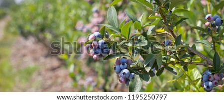 Blueberries - delicious, healthy berry fruit. Vaccinium corymbosum, blush with an abundance of berry crop. Blue ripe fruit on the healthy green plant. Food plantation - blueberry field, orchard.  #1195250797