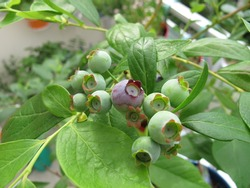 Blueberries in flowerpot on balcony