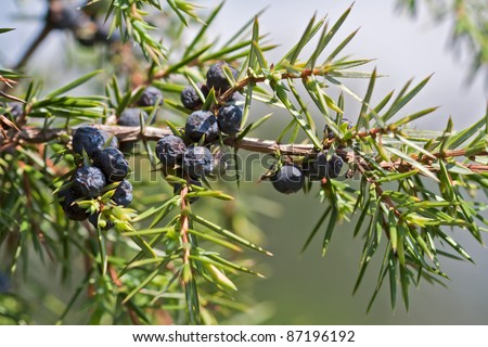 blueberries of juniperus communis