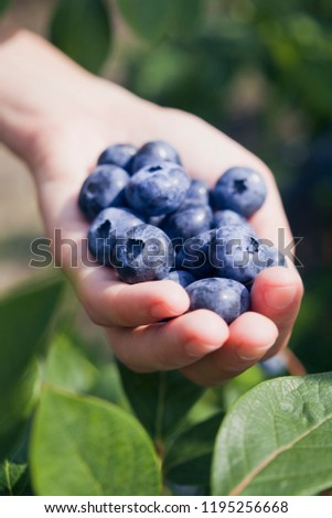 Blueberries - Vaccinium corymbosum, high huckleberry, blush with abundance of crop. Blue ripe  fruit on the healthy green plant and in human hands. Food plantation - blueberry field, orchard.