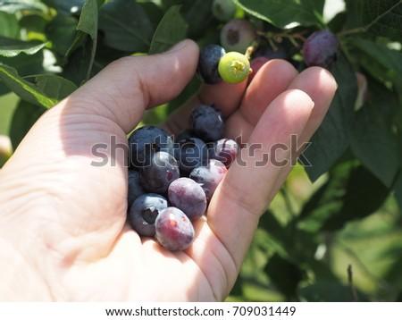blueberry #709031449